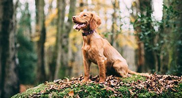 Hunting Dog Training, Dog sitting, no leash, retriever breeds