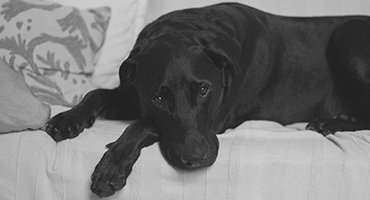 Dog Obedience Training, Black Lab Breed laying on a couch with good dog behavior